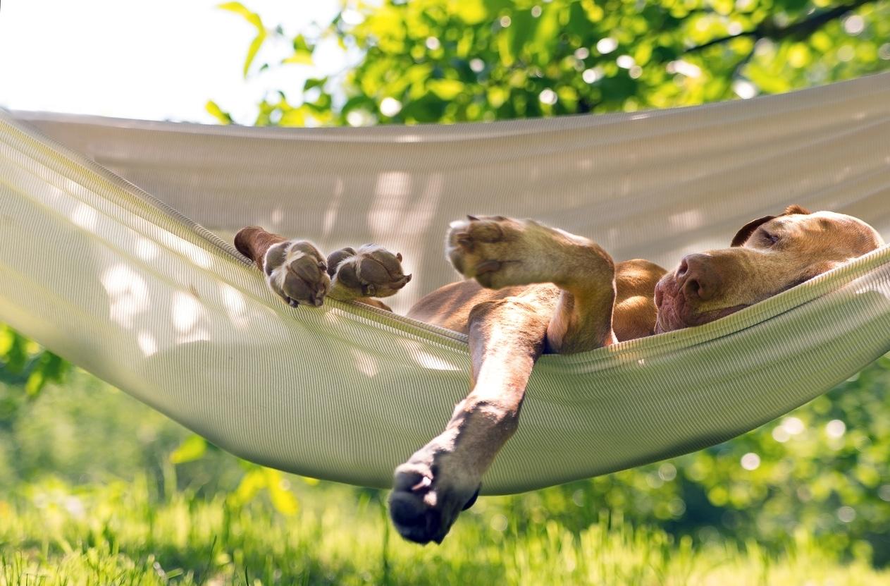 Chien dormant dans un hamac