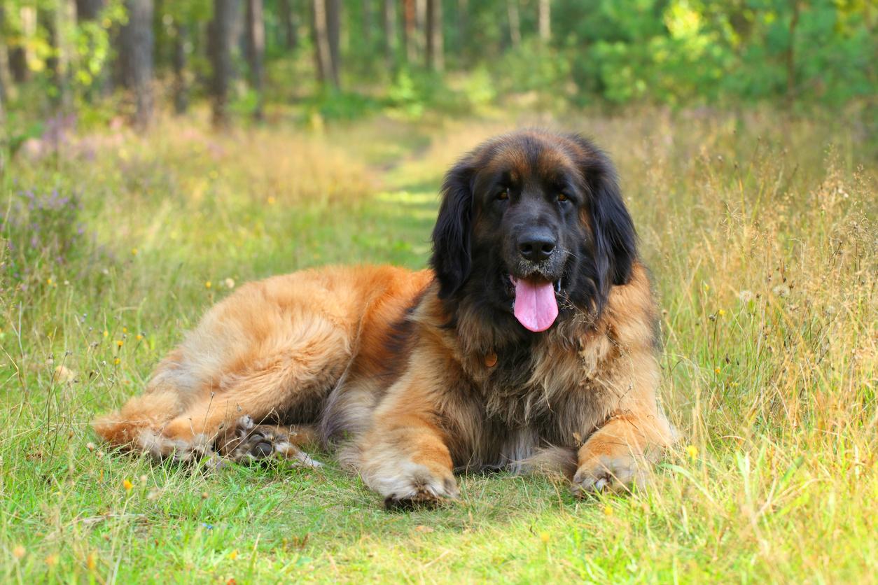 Portrait couché d'un chien Leonberg