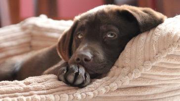 Petit chien marron se reposant dans son panier