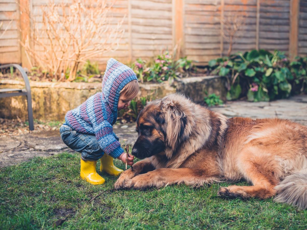 Chien Leonberg jouant dehors avec un enfant