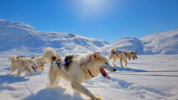 chiens du Groenland qui tirent un traineau dans la neige