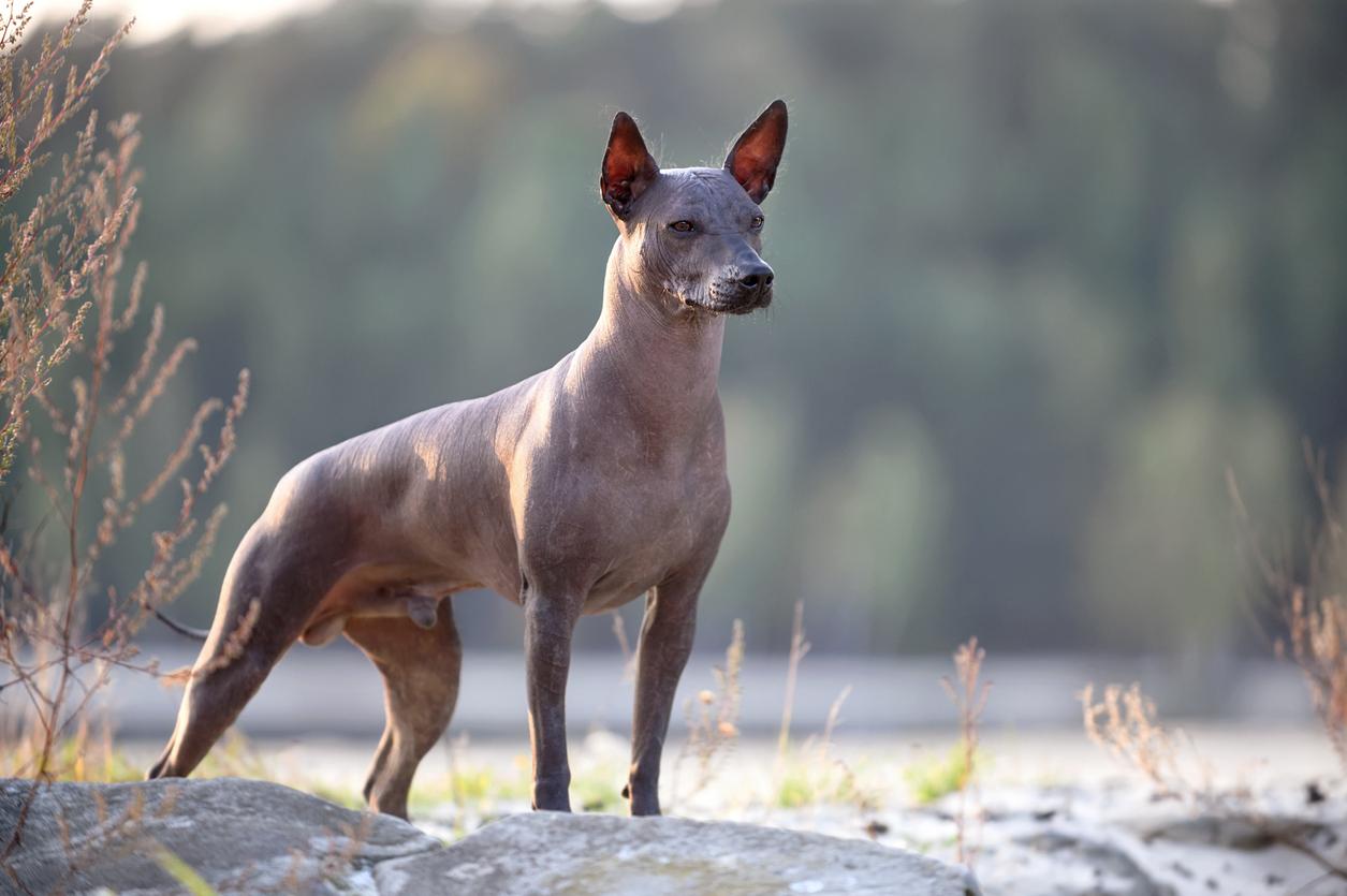 chien de race Xoloitzcuintle