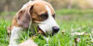 chien qui mange un morceau de bois