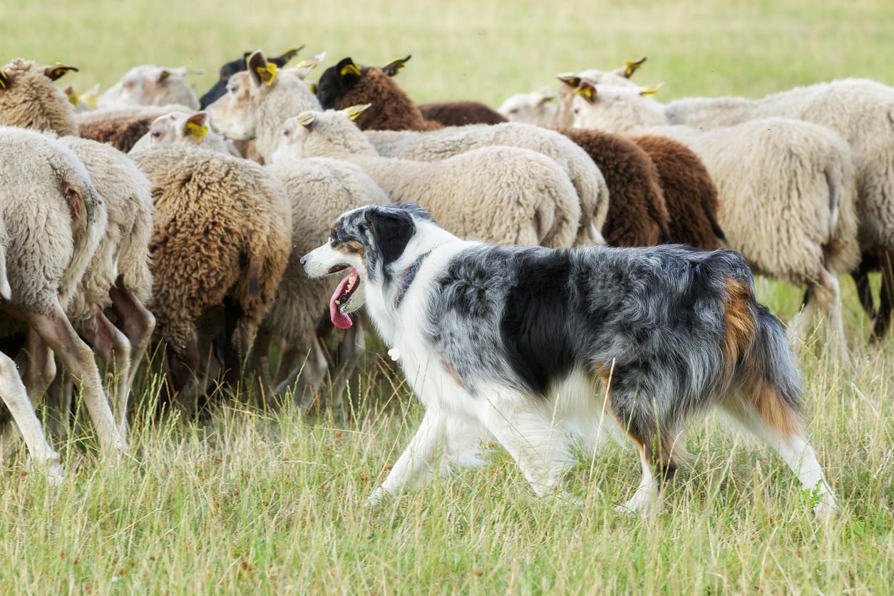 chien de berger dans troupeau de moutons