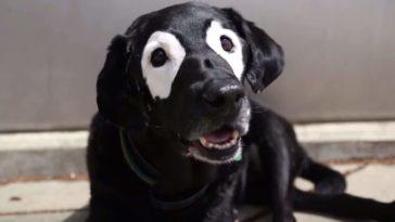 chien noir avec le contour des yeux blanc vitiligo