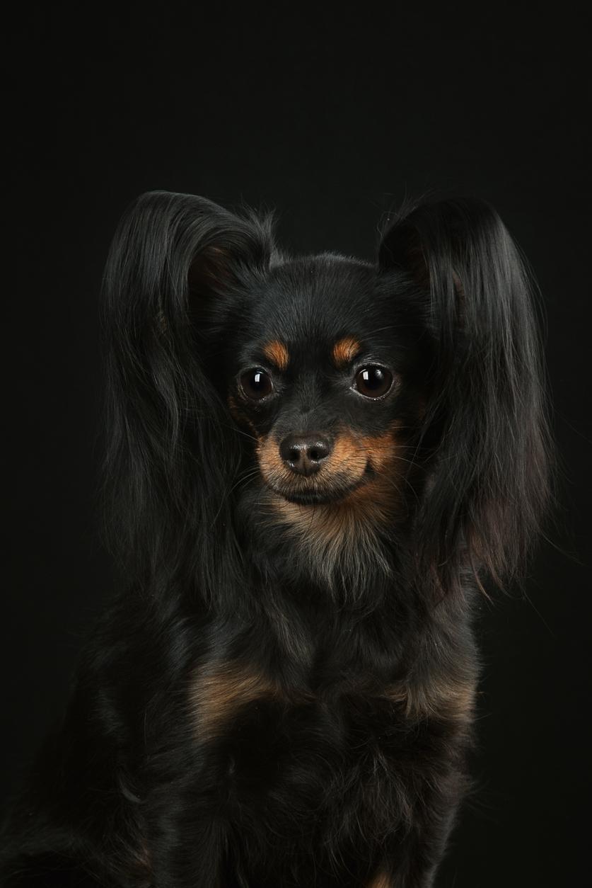 chien russkiy toy