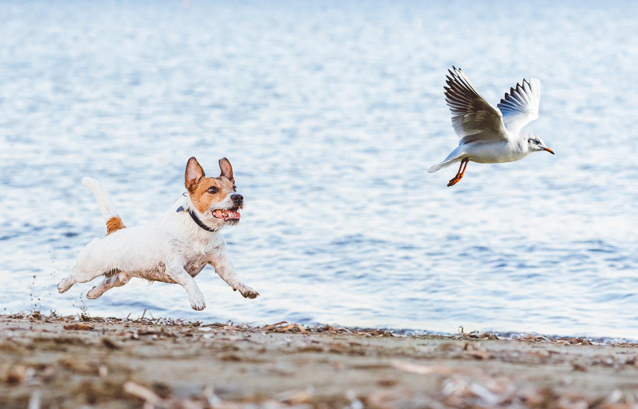 chien Jack Russel qui court après un oiseau