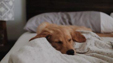 petit chiot qui dort dans un lit