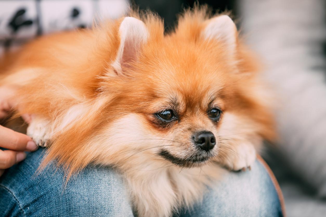 petit chien allongé sur des genoux