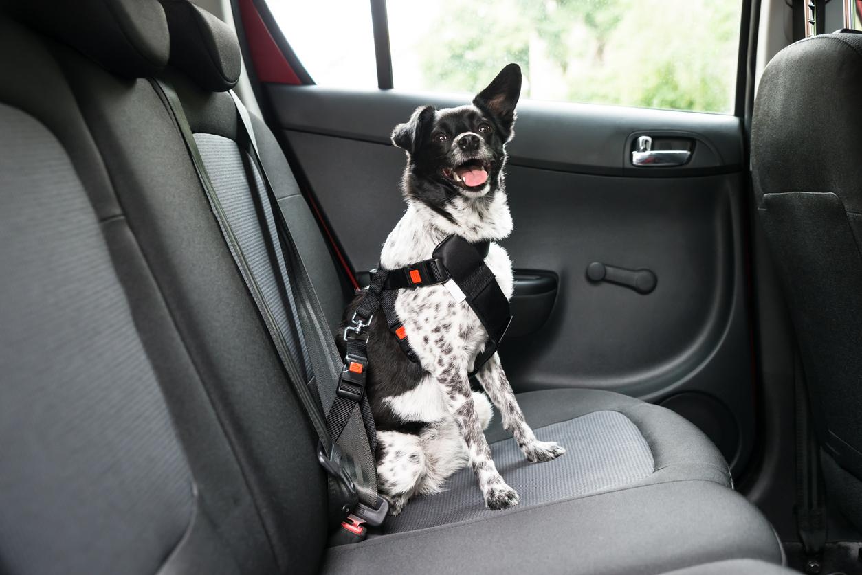 Chien assis à l'arrière de la voiture attaché par une ceinture
