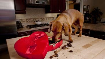 Chien qui mange du chocolat de Saint Valentin sur la table