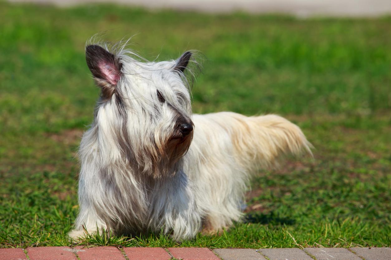 Chien Skye Terrier blanc dans l'herbe