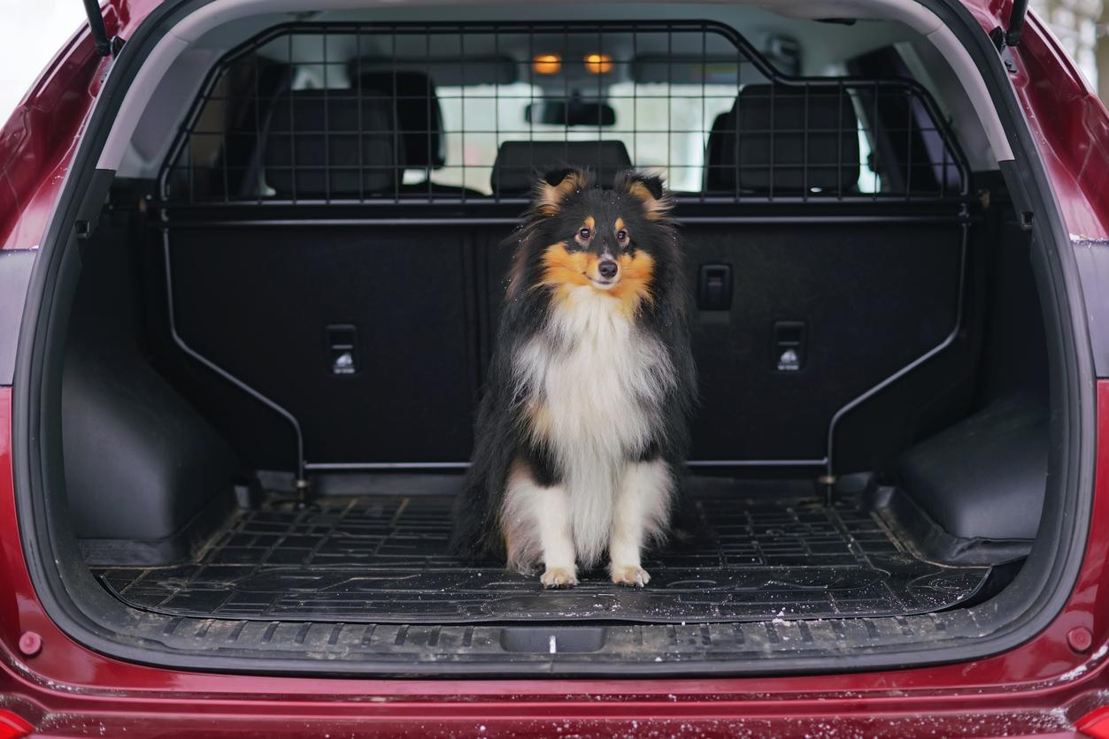 Chien assis dans le coffre de la voiture