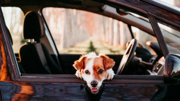 Petit chien à la fenêtre d'une voiture