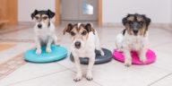 Trois petits chiens faisant de la proprioception