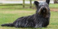 Chien Skye Terrier noir