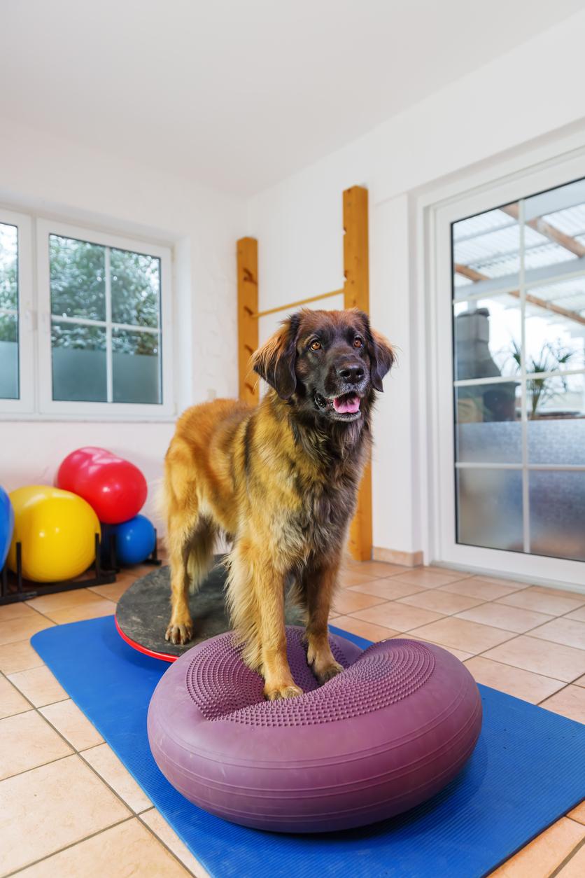 Gros chien debout sur deux gros ballons moelleux