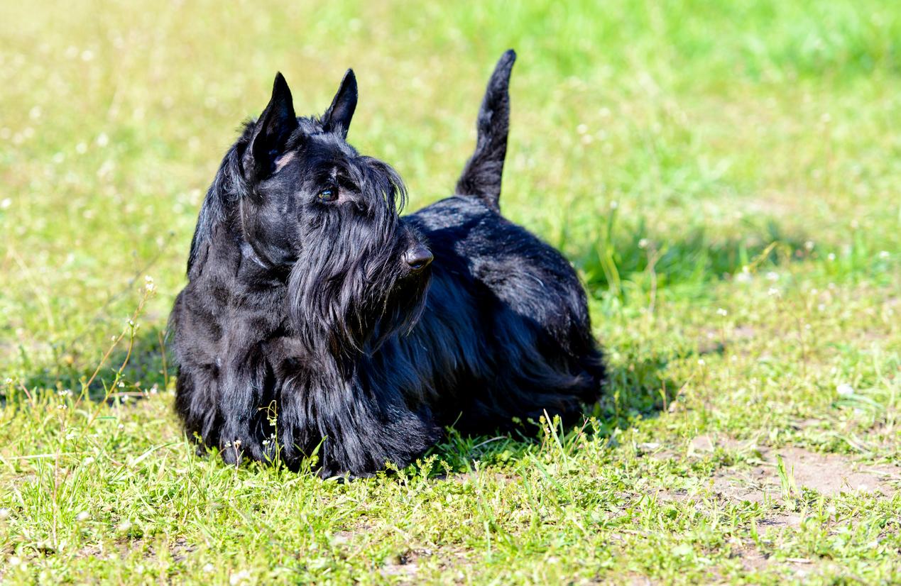 Chien Skye Terrier noir et bien toiletté