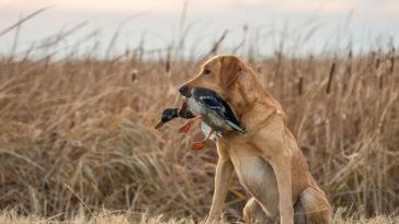 chien avec un oiseau dans la gueule