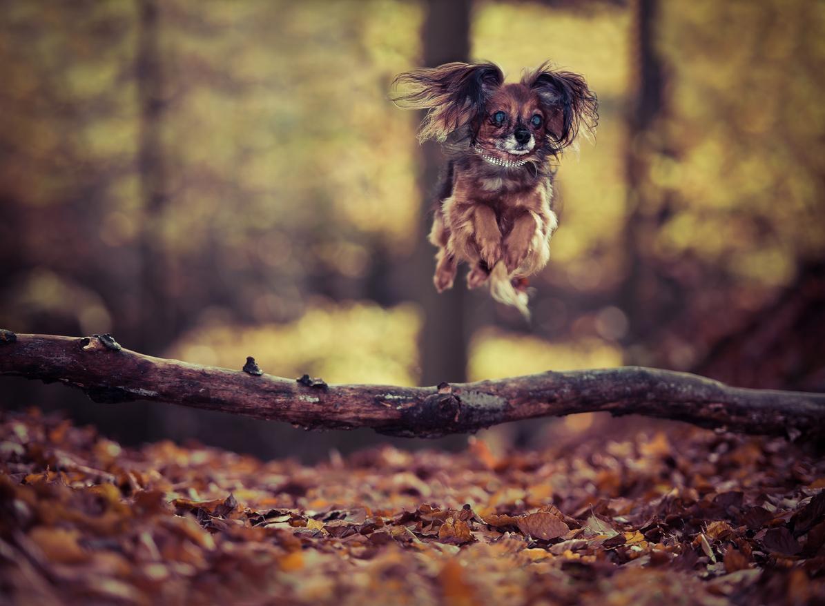 chien russkiy toy qui saute un trou en forêt