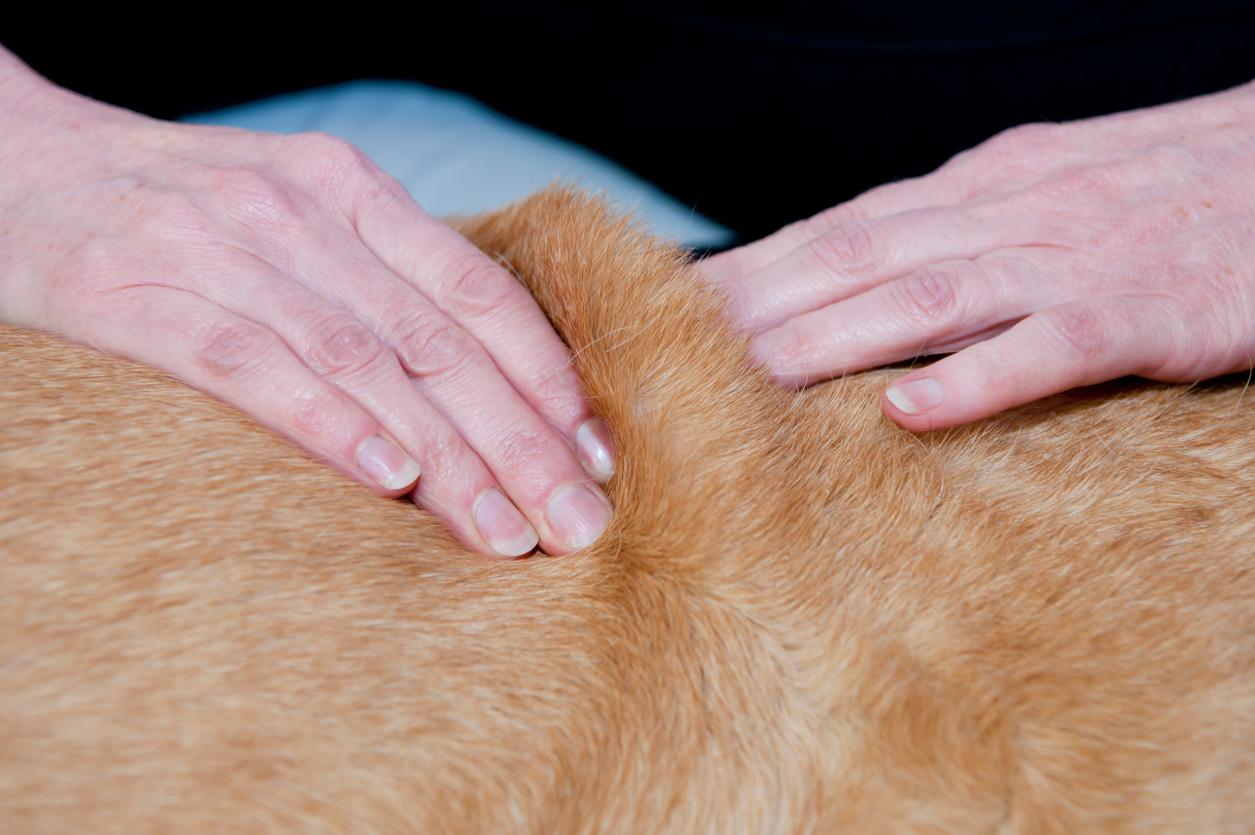 gros plan sur la peau d'un chien en train de se faire masser