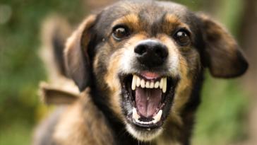 chien agressif qui montre les dents