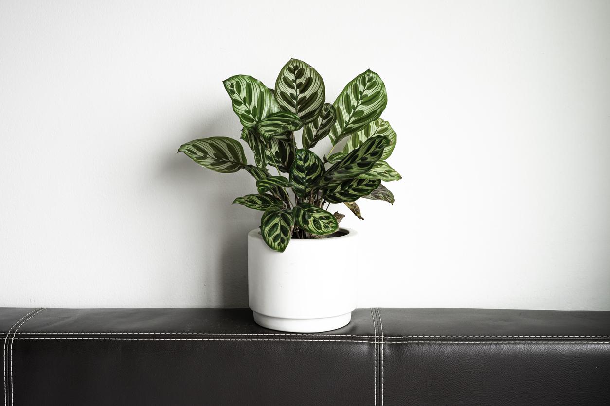 plante calathea