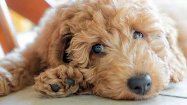 Petit chien beige frisé qui boude