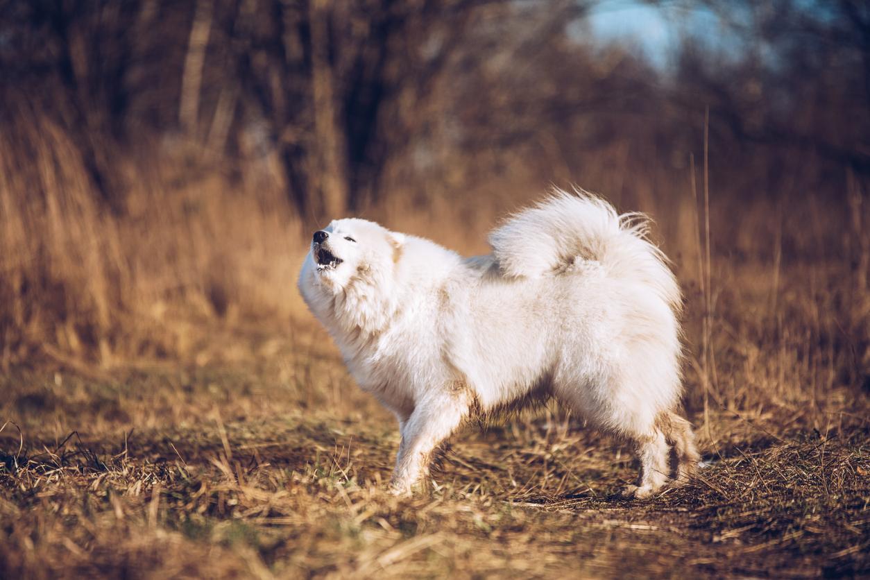 chien samoyède qui aboie