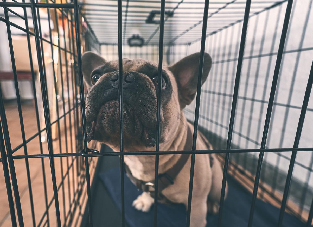 chien bouledogue dans sa cage