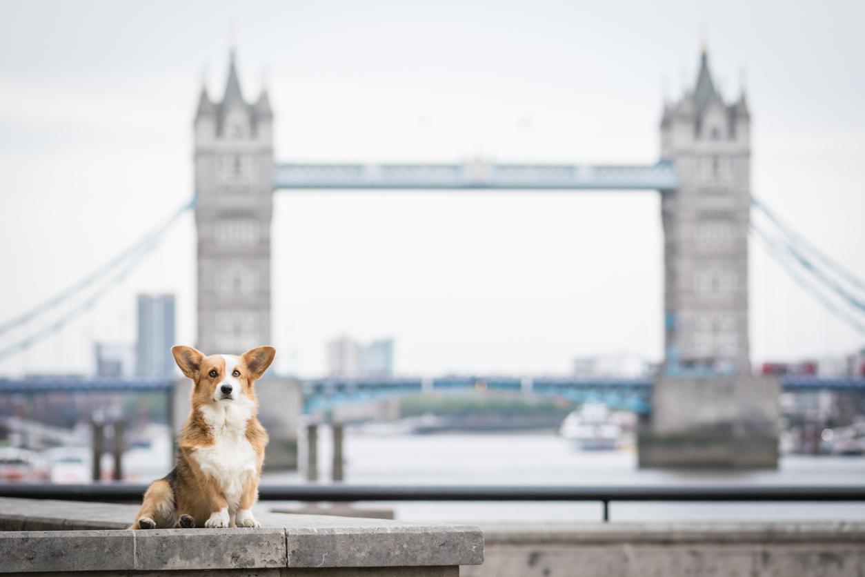 corgi devant le Tower bridge à Londres