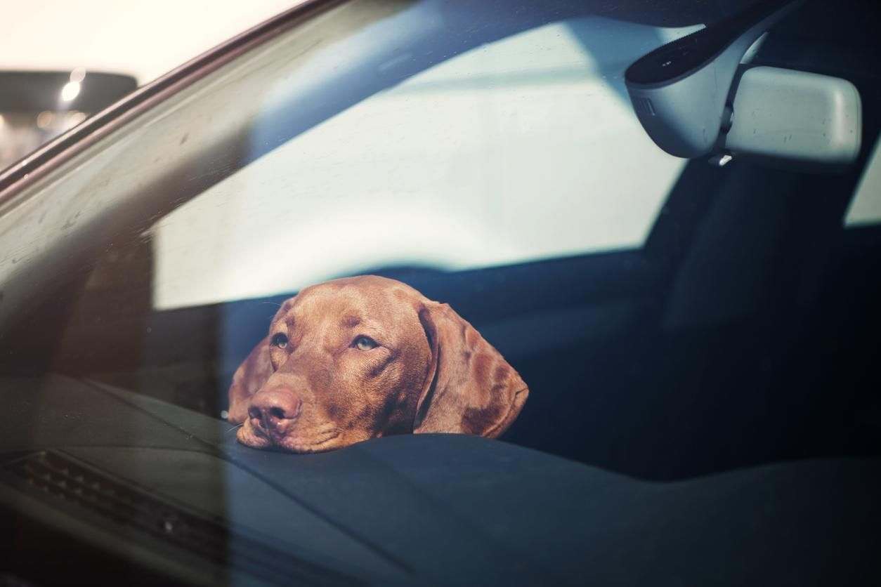 Chien au soleil dans la voiture