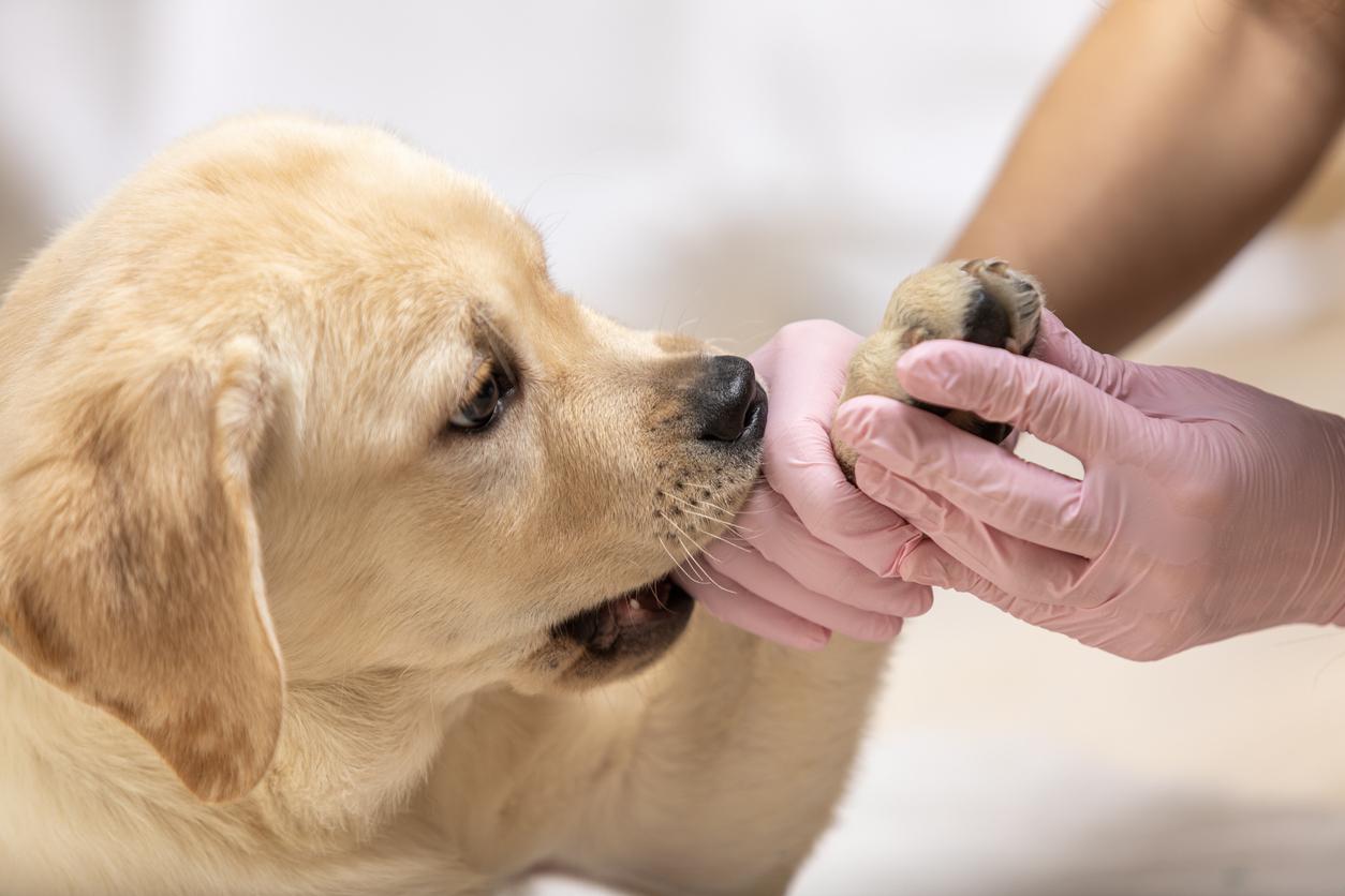 Petit chien mordant lors d'un soin à la patte