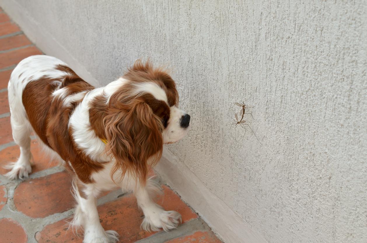 Chien qui regarde un moustique sur le mur
