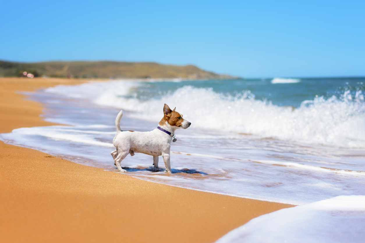Petit chien devant la mer