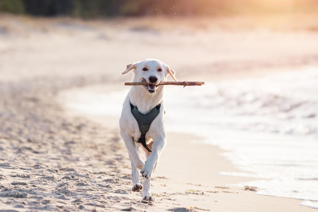 Chien qui court le long de la plage au soleil couchant