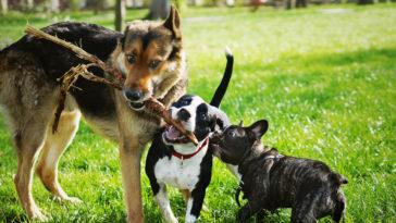 trois chiens qui jouent ensemble