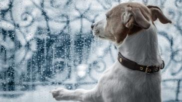 chien Jack Russel qui regarde la pluie par la fenêtre