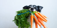 Chien tenant un bouquet de carottes dans la gueule