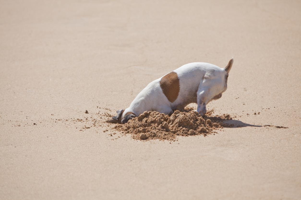 Chien qui creuse la tête dans le sable