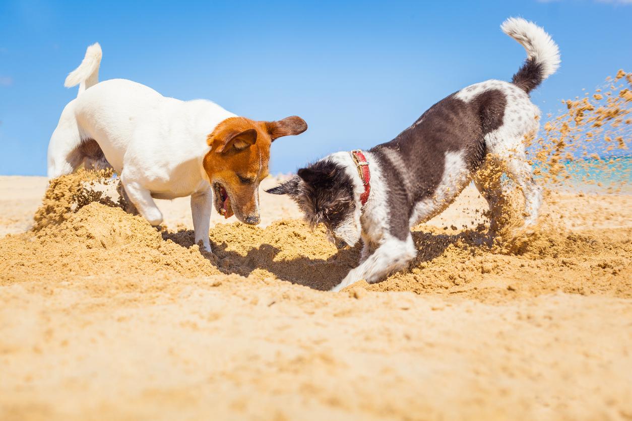 Chiens en train de s'amuser à creuser dans le sable