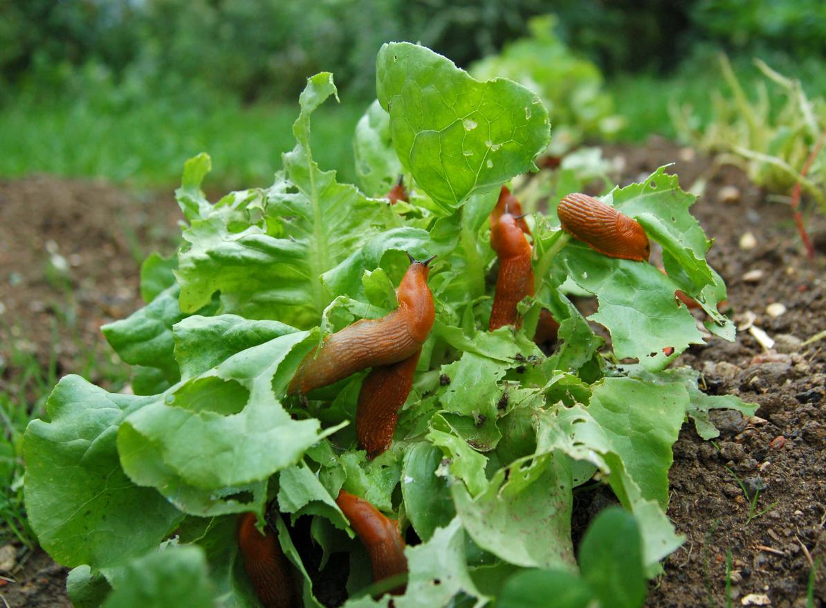 Invasion de limaces sur une salade verte