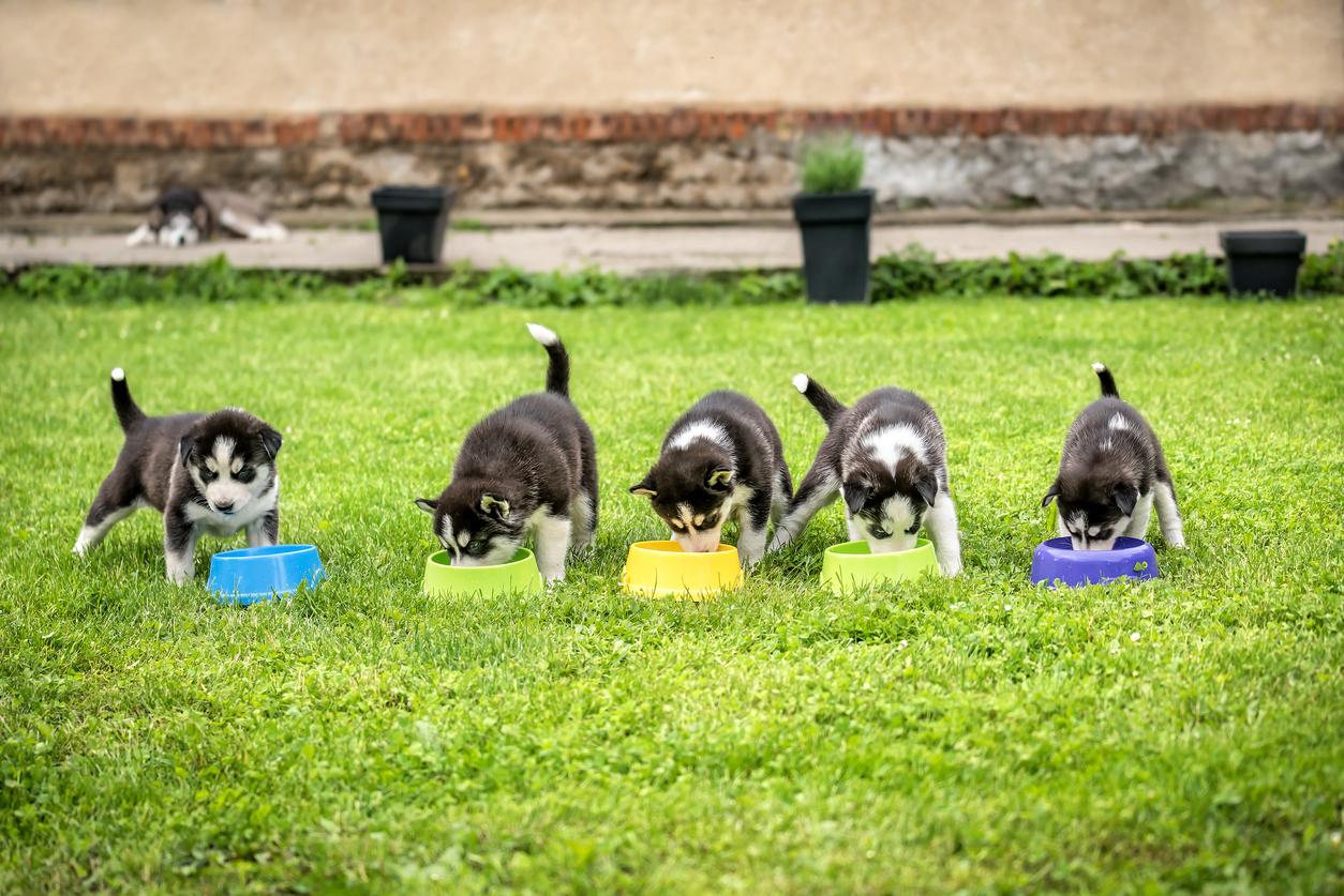 Quatre chiots mangeant dans leur gamelle en plastique