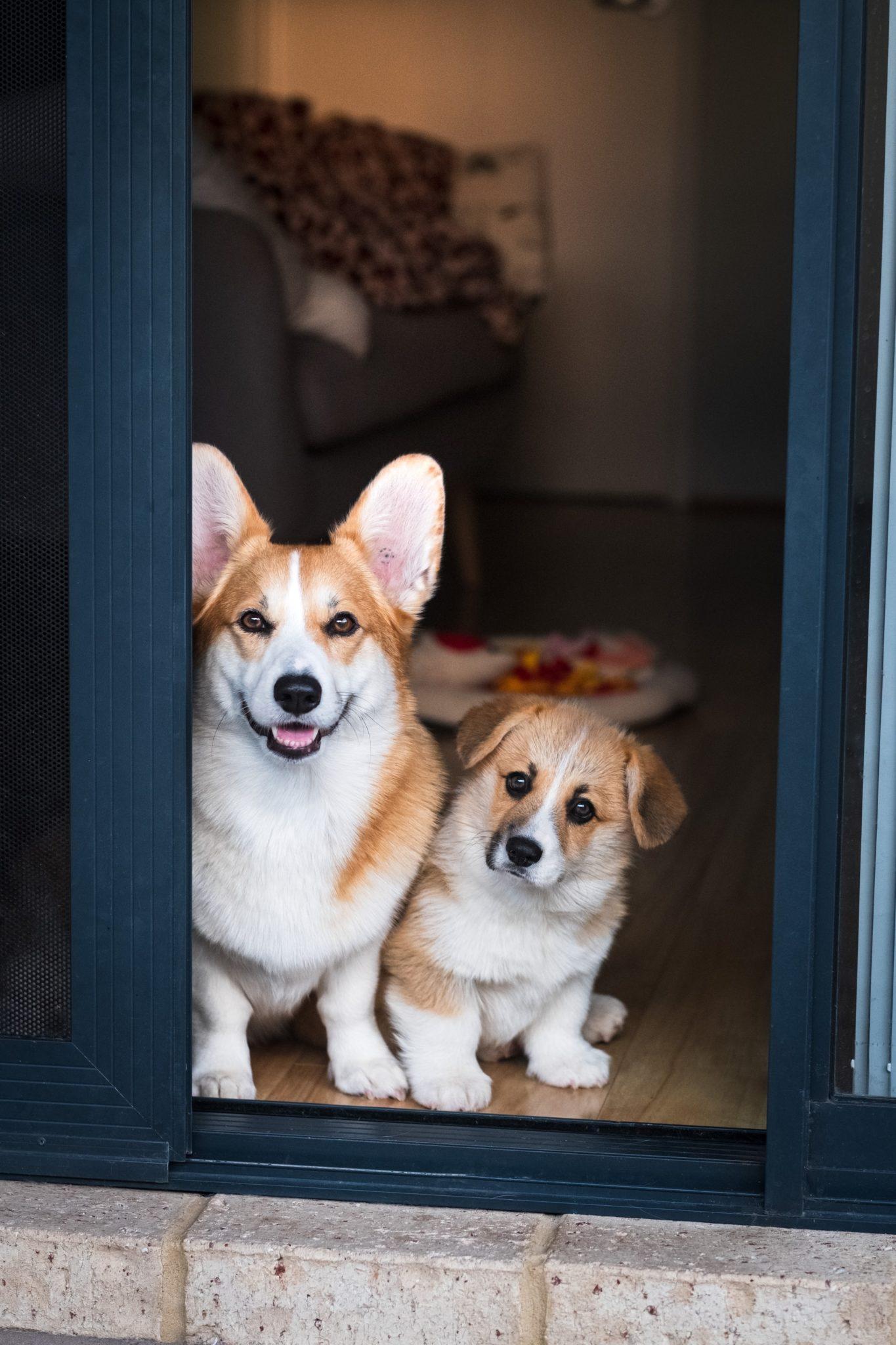 deux chiens corgi dans l'ouverture d'une porte