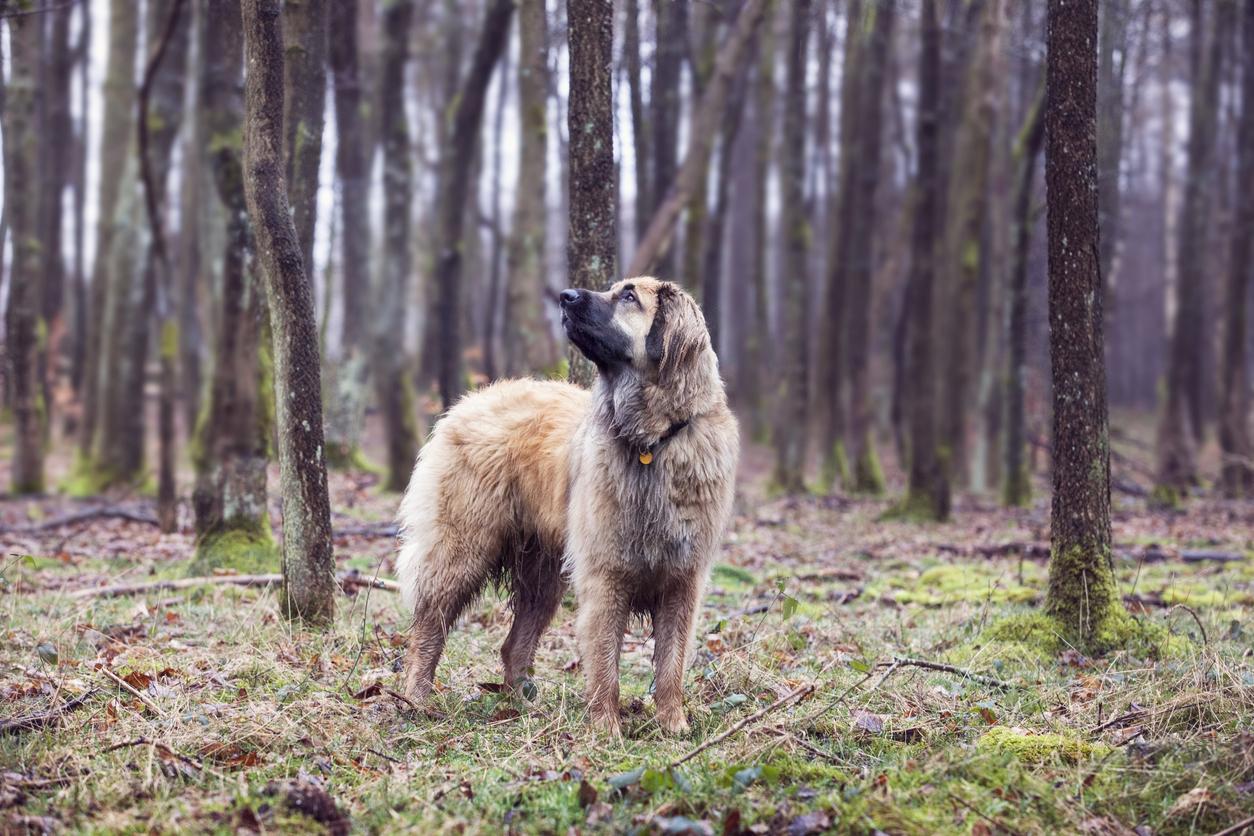 chien Leonberg dans la forêt