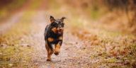 chien Jagdterrier qui court sur un chemin