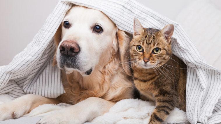 Chien et chat sous la couette