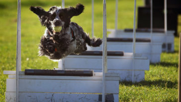 chien en train de faire du flyball