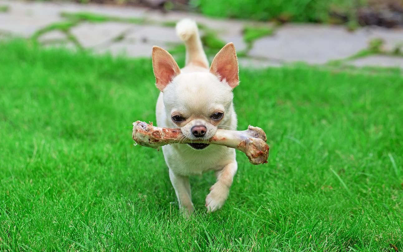 chihuahua avec un os dans la gueule